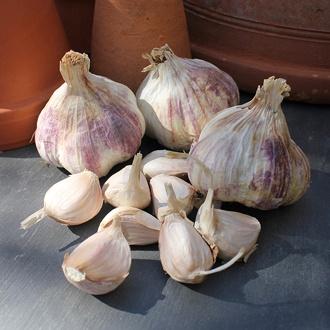 Garlic Rhapsody Wight Bulbs (Softneck)