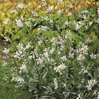 Gaura Sparkle White Flower Plants