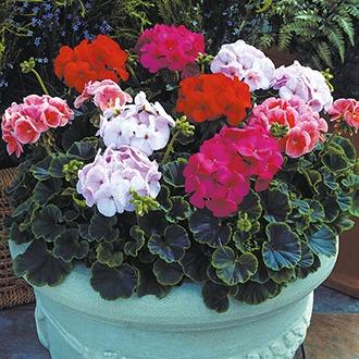 Geranium Bullseye Mixed F1 Plants