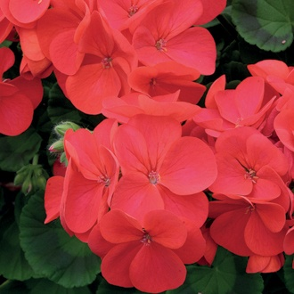 Geranium Palladium Red F1 Flower Plants