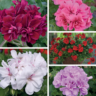 Trailing Pelargonium Precision Plant Collection