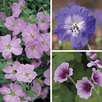 Geranium Plant Collection