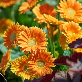 Gerbera Garvinea Sweet Caroline Flower Plants