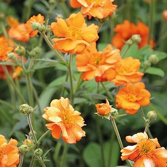 Geum Totally Tangerine Plants