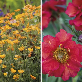 Geum Plant Collection