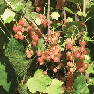 Pinkcurrant Gloire de Sablon Plant