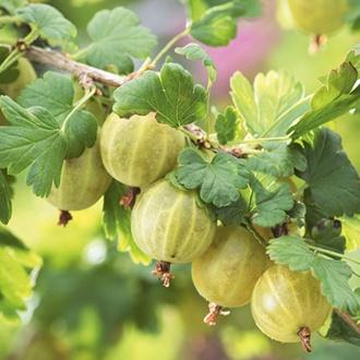 Gooseberry Hinnonmaki Yellow Plant