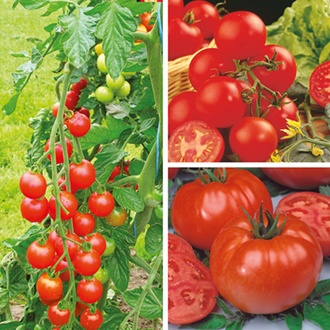 Tomato (Grafted) Plant Collection