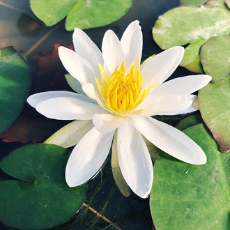 Water Lily Albatross Pond Plant