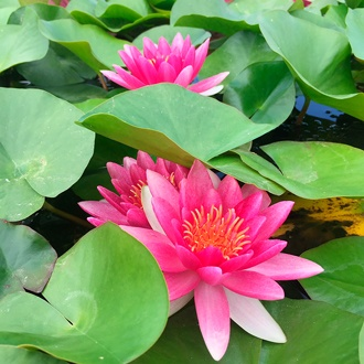 Water Lily Attraction Pond Plant