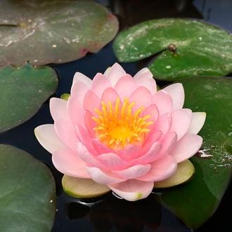 Water Lily Darwin Hollandia Pond Plant