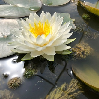 Water Lily Gonnere Pond Plant