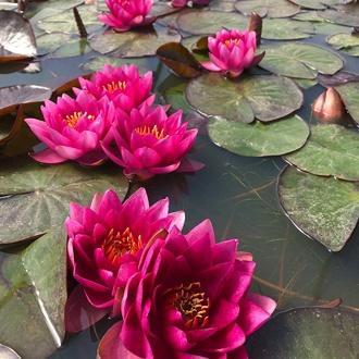 Water Lily James Brydon Pond Plant