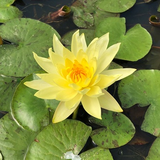 Water Lily Joey Tomocik Pond Plant