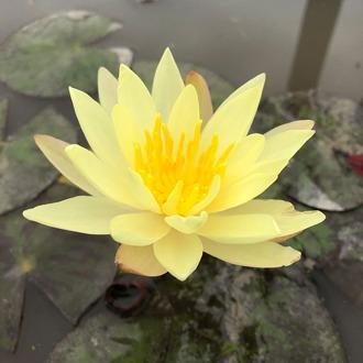 Water Lily Odorata Sulphurea Pond Plant