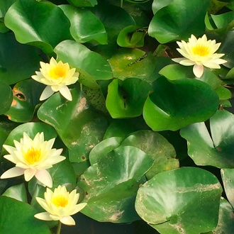 Water Lily Sunrise Pond Plant