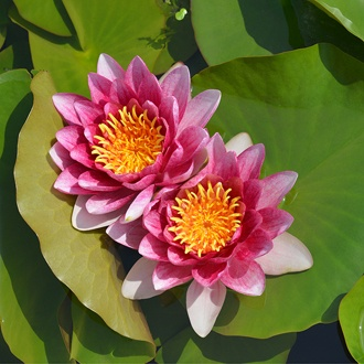 Water Lily Rene Gerard Pond Plant