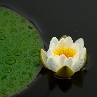 Miniature Water Lily Pygmaea Candidia Pond Plant