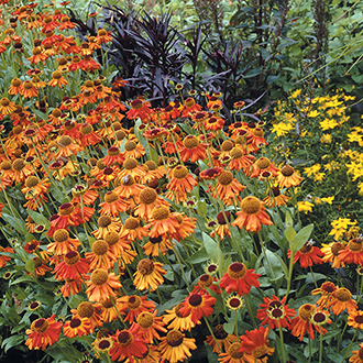 Helenium Moerheim Beauty Plants