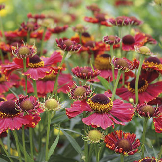 Helenium Helena Red Shades Plants