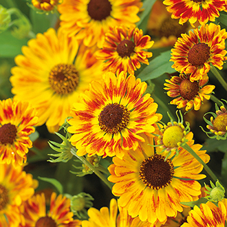 Helenium Mariachi Flower Plant Collection