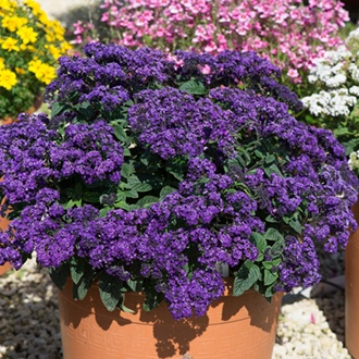 Heliotrope Marino Blue Plants