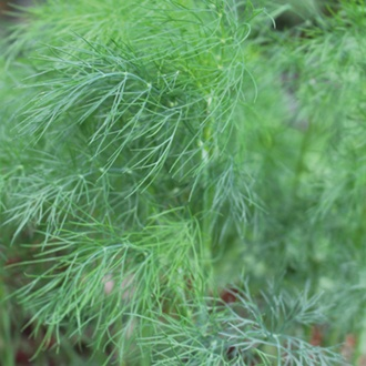 Dill Herb Plants