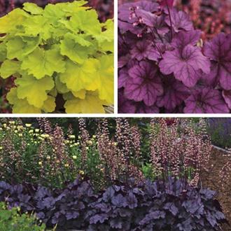 Heuchera Plant Collection