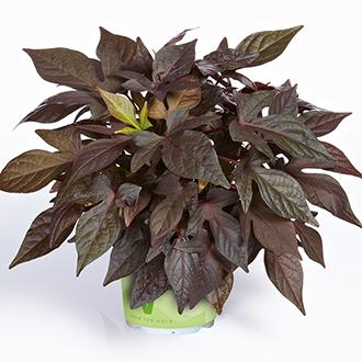 Ipomoea Sweet Georgia Deep Purple Plants