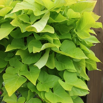 Ipomoea Sweet Caroline Green Plants
