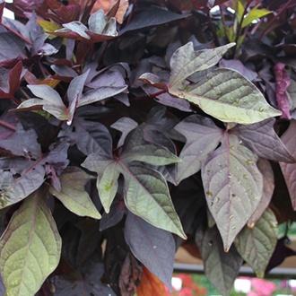 Ipomoea Sweet Caroline Purple Plants