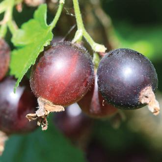 Jostaberry Fruit Plant