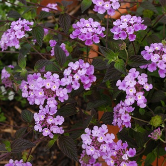 Lantana Purple Trailing Plants
