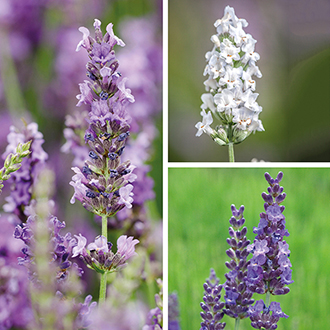 Lavender Plant Collection