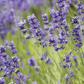 Lavender angustifolia Blue Scent Plants