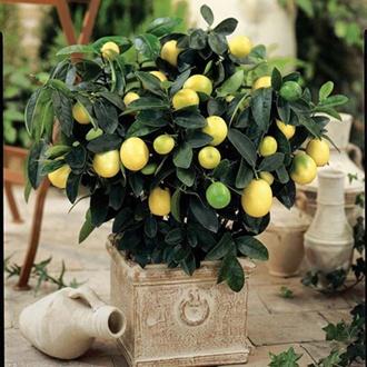 Citrus Lemon Eureka potted plant