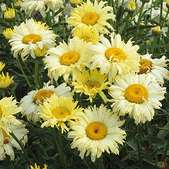 Leucanthemum Goldfinch Plants