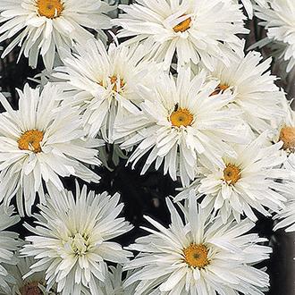 Leucanthemum Crazy Daisy Plants