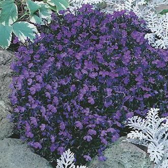 Lobelia Crystal Palace Plants