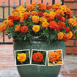 Marigold Fireball F1 Plants