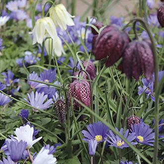 Anemone & Fritillaria Bulb Collection