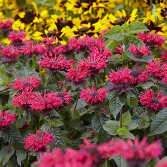 Monarda Bee Happy plants