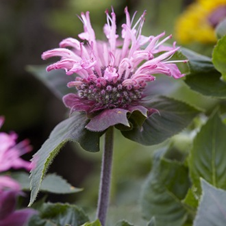 Monarda Bee Lieve plants