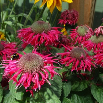 Monarda Bee Happy Flower Plants