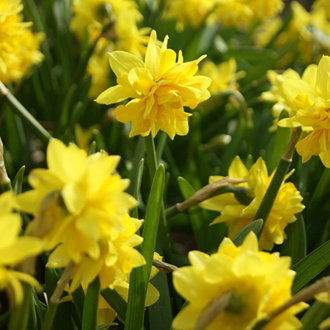 Narcissus Tete Boucle (Double) Bulbs