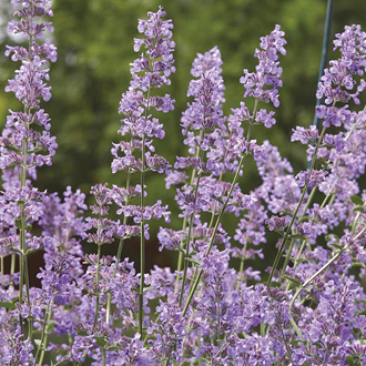 Nepeta Six Hills Giant Flower Plant