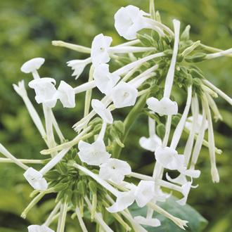 Nicotiana sylvestris Plants
