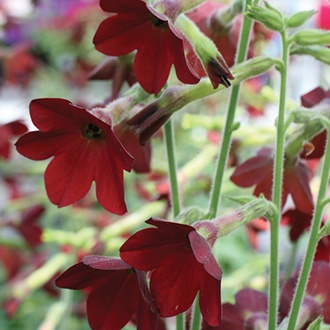 Nicotiana Baby Bella Plants