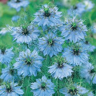 Nigella Miss Jekyll Plants