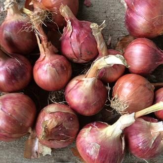 Onion (Heat Treated) Rosanna Sets